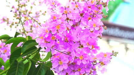 rainha : Lagerstroemia speciosa pink white flower bloom in the garden in autumn Stock Footage