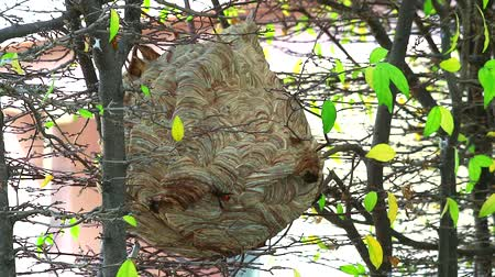 calabrone : Wasps hive in the garden and are exploring around the area