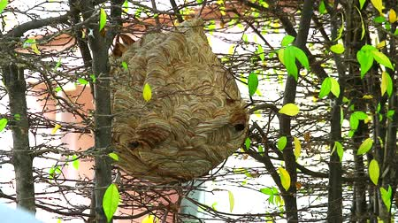 улей : Wasps hive in the garden and are exploring around area