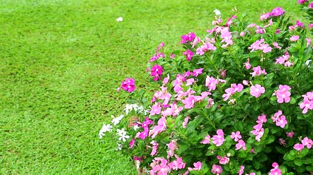 pink white madagasca periwinkle, rose periwinkle and green grass in the garden Dostupné videozáznamy