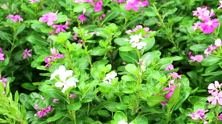 pink white madagasca periwinkle, rose periwinkle and green leaves in the garden