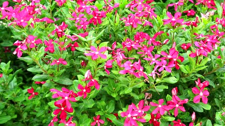 madagaskar : red madagasca periwinkle, rose periwinkle and green grass in the garden