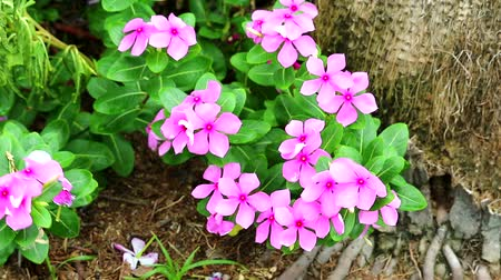 madagaskar : pink madagasca periwinkle, rose periwinkle and green leaves in the garden