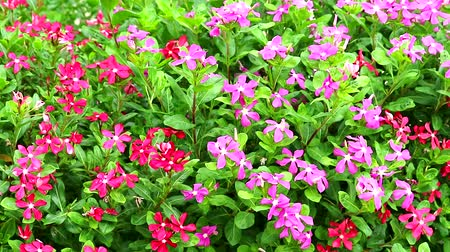 madagaskar : pink red madagasca periwinkle, rose periwinkle and green leaves in garden Stok Video