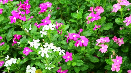 madagaskar : pink white madagasca periwinkle, rose periwinkle and green leaves in the garden