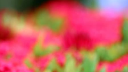red Ixora flowers and green leaves  in blur garden background