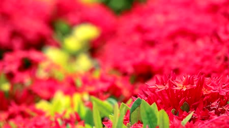 red Ixora flowers and green leaves  in the blur garden background