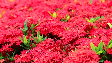 koncepció : red Ixora flowers and green leaves  in the garden background