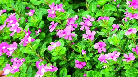 madagaskar : pink madagasca periwinkle, rose periwinkle green leaves in the garden