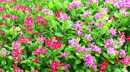 madagaskar : pink red madagasca periwinkle, rose periwinkle and green leaves in the garden