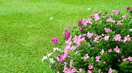 madagaskar : pink white madagasca periwinkle, rose periwinkle and green grass in garden Stok Video