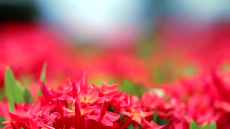 ジャスミン : red Ixora flowers and green leaves in blur garden background 動画素材