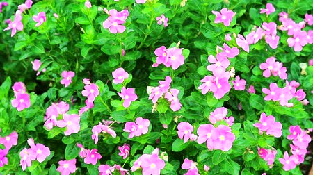madagaskar : light pink white madagasca periwinkle, rose periwinkle and green leaves in the garden