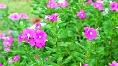 madagaskar : pink madagasca periwinkle, rose periwinkle green leaves in the garden1