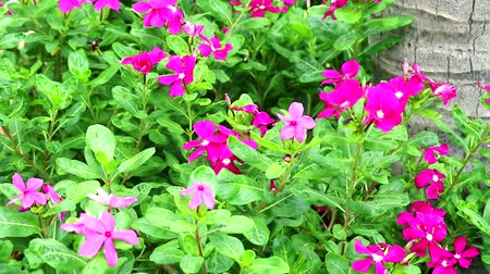 madagaskar : pink magenta madagasca periwinkle, rose periwinkle and green leaves in the garden