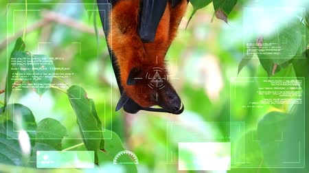 nietoperz : Lyle flying fox sticking on tree branches Hanging his head down to sleeping, Chinese law prohibits trade, prohibits the consumption of wildlife