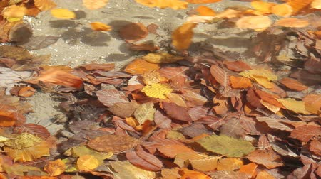 folhas : Colored autumn leaves taken away by river