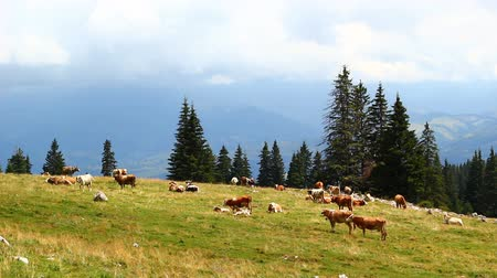 stádo : Cow herd on mountain