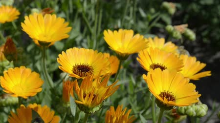 calendula officinalis : Calendula Yellow wild flowers in the garden