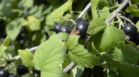 egres : Black Currant berries grow in the garden Stock mozgókép