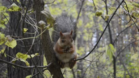 red rodent : Cute squirrel on tree in the park close up Stock Footage