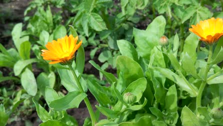 calendula officinalis : Calendula on garden Stock Footage