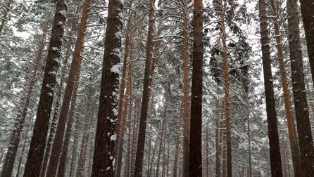 pinho : Snowfall in the forest. Pines in the snow Vídeos
