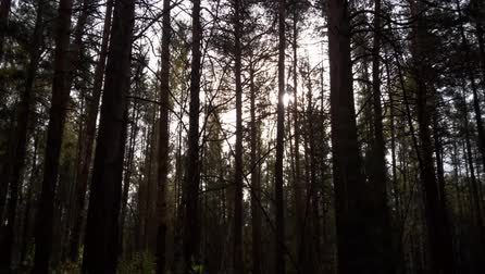 чаща : Pine forest in the dark Стоковые видеозаписи