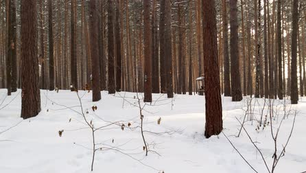 karmnik : Snowfall in the forest. Pines in the snow Wideo