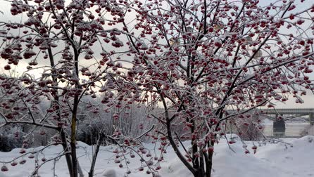 fazla : Rowan tree on a cold winter snowy day Stok Video
