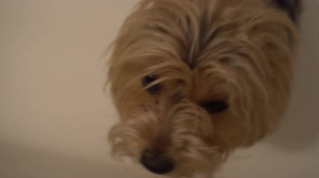 yorkie : Cute young yorkie looking up into camera on white background. Stock Footage