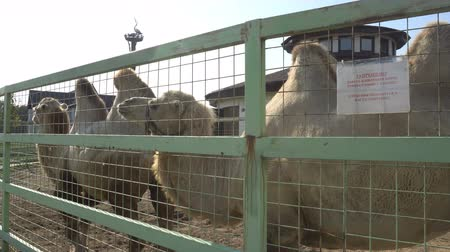 salya : cute camels in the paddock in the national Park. Stok Video