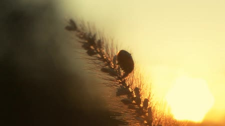 grass flowers : ladybug at sunset close-up