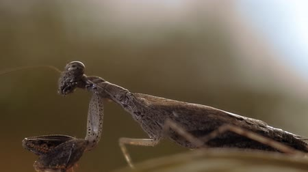 disambiguation : praying mantis insect Stock Footage