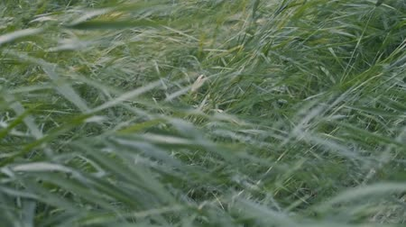 sazlık : wind shakes the grass Stok Video