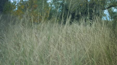 gust of wind : long grass in a forest dry