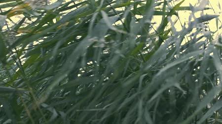 ciclone : wind shakes the grass Stock Footage