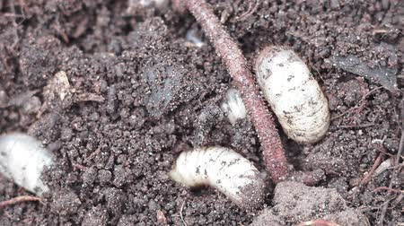 squirm : earthworm crawling on the ground Stock Footage