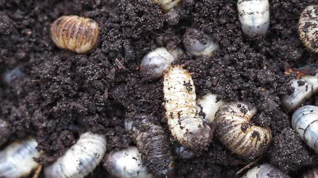 rinoceronte : white worms in the ground background Stock Footage