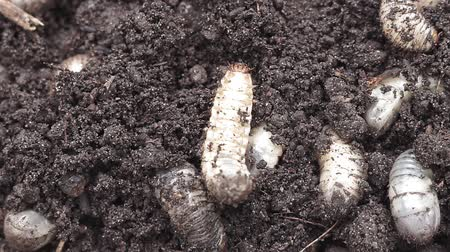 white rhino : white worms in the ground background Stock Footage