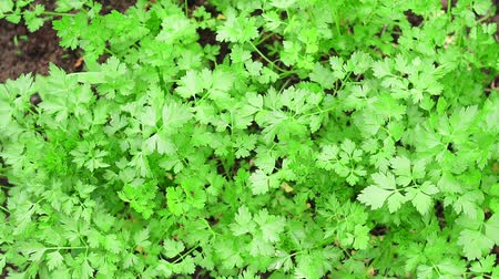 гарнир : fresh parsley growing spices agriculture