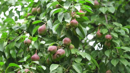 груша : ripe pear on the tree and agriculture crop Стоковые видеозаписи