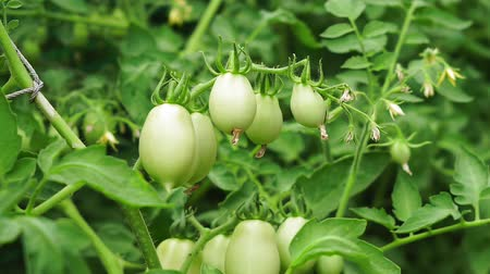 unripe : green tomatoes growing agriculture crop Stock Footage