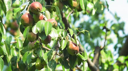 pereira : ripe pears on a tree branch harvest season