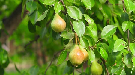 appendere : ripe pears on a tree branch close-up crop Filmati Stock