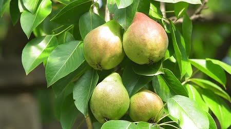 груша : ripe pears on a tree branch close-up crop Стоковые видеозаписи