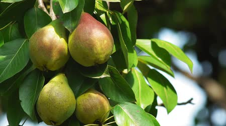 pera : pears on a tree close-up of organic fruit Archivo de Video
