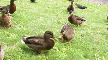 eendje : ducks on green grass close-up natural Park background Stockvideo