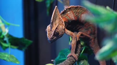 yaratık : Chameleon red and orange in terrarium close-up reptile Stok Video