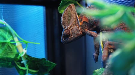 madagaskar : Chameleon red and orange in terrarium close-up reptile Stok Video
